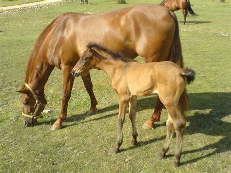 Horses - Mother and child | Baby horse with mother just up